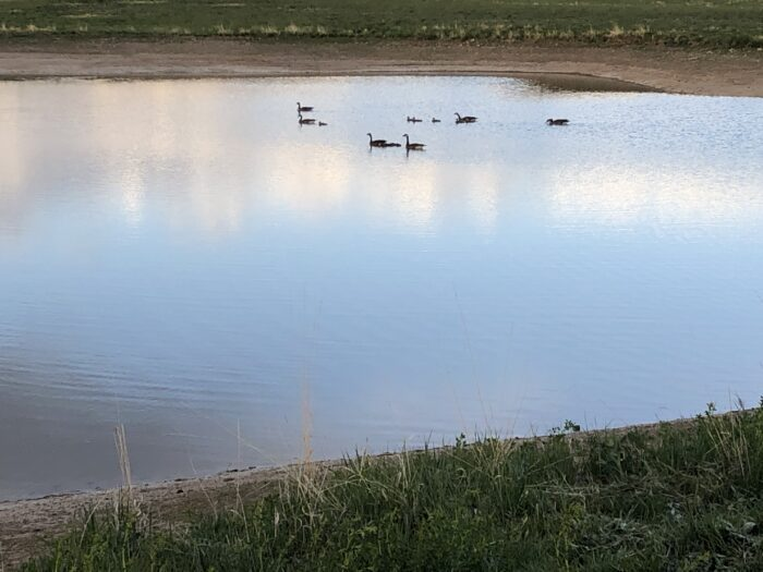 A view of ducks in the pond