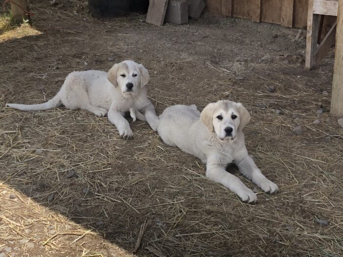 A pair of dogs
